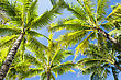 Beauty Coconut Palms On The Blue Sky Background stock photo