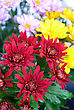 Beauty Color Chrysanthemum Flowers Close Up