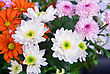 Beauty Color Chrysanthemum Flowers Close Up stock photography