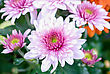 Beauty Color Chrysanthemum Flowers Close Up stock image