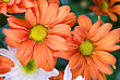 Aster Beauty Orange Chrysanthemum Flowers Close Up stock image