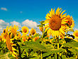 Earth Beauty Sunflowers On The Field, Natural Landscape stock photo
