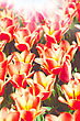 Beauty Tulips, Abstract Environmental Backgrounds For Your Design stock image
