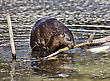 Beaver At Work In Early Spring Manitoba stock image