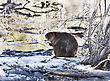 Beaver At Work In Early Spring Manitoba stock photography