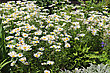 Grass Bed Of Summer Daisies stock photo