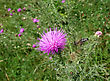 Bee Pollinating Thistle stock image