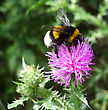 Bee Pollinating Thistle stock photography