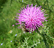 Bee Pollinating Thistle