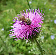 Bee Pollinating Thistle stock photo