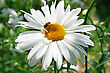 Insects Bee Sitting On Camomile Flower. stock photography