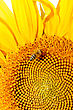 Bee On Sunflower. Flower Of Sunflower Close-up, Natural Background stock image