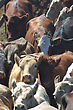Beef Cattle Herded Into Race For Auctioning