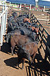 Beef Cattle Yarded And Waiting For Auctioning stock photography