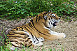Bengal Tiger Lays Down To Catch It's Breath stock photo