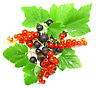 Berry Mix- Red And Black Currant, With Leaf On White Background. Top View. Isolated stock photography