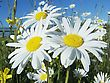 Big Daisies stock photography