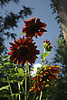 Big Red Sunflowers Against Clear Blue Sky At Sunny Summer Day