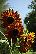 Big Red Sunflowers Against Clear Blue Sky At Sunny Summer Day stock photography