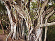 Big Tropical Root Tree stock photo