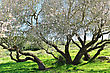 Big And Very Beautiful Almond Tree In Bloom stock photo