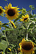 Big Yellow Sunflowers Against Clear Blue Sky At Sunny Summer Day stock image