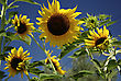Big Yellow Sunflowers Against Clear Blue Sky At Sunny Summer Day