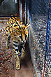Bigcat serval in the blue cage stock image