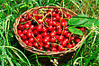 Bing Cherries In Basket On The Green Grass stock photo