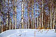 Birch In Forest Against The Background Of Snow, Blue Sky And White Clouds stock image