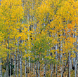 Birch Forest In Autumn stock image