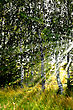 Birch Grove, Illuminated By The Sun On The Background Of A Wheat Field stock photography