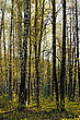 Birch Spring Trees In Forest stock photo