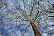 Birch Tree in Winter stock photography