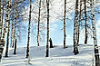 Birch Trees In A Forest Against The Background Of Snow, Blue Sky And White Clouds