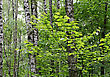 Birch Trees And Green Foliage In A Summer Forest