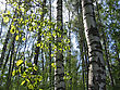 Birch Trees And Green Leaves Glowing In Sunlight In A Summer Forest stock photo