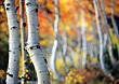 Birch Trees In Autumn stock image