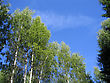 Birch Trees On A Blue Sky Background stock image