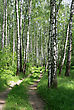 Birch Trees And Road In A Summer Forest stock photography