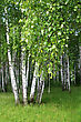 Birch Trees With Young Foliage In A Summer Forest stock photography