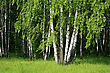 Birch Trees With Young Foliage In A Summer Forest stock photo