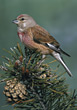 Bird Sittingon Branch with Pinecone stock photo