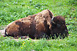Bison Grazing At The Minnesota State Zoo. stock image