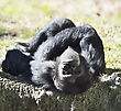 Black Chimpanzee Resting Under The Morning Sunlight stock photography