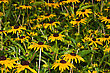 Black-eyed Susan (Rudbeckia Hirta), Native To North America stock image
