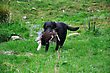Black Labrador Gamedog Retrieving Female Pheasant, West Coast, South Island, New Zealand stock image