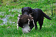 Black Labrador Gamedog Retrieving Female Pheasant, West Coast, South Island, New Zealand stock photography