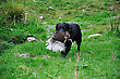 Black Labrador Gamedog Retrives A Pheasant On The West Coast Of New Zealand stock image