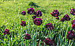 Black Tulips On The Background Of Green Grass stock photo